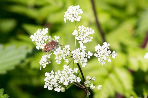 Beerenwanze (Dolycoris baccarum) /Foto: B. Budig