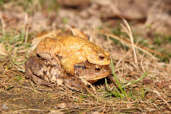 Erstes Erkrötenpärchen in diesem Jahr (Foto: B. Budig)