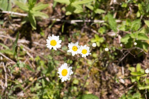 Magerwiesen-Margerite (Leucanthemum vulgare) /Foto: B. Budig