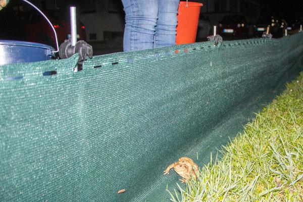 Erdkrötenpärchen am Amphibienzaun