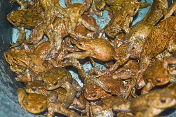 Erdkröten im Eimer (Foto: Braun)