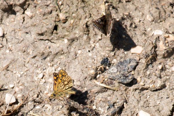 Dickkopffalter (Hesperiidae) /Foto: B. Budig