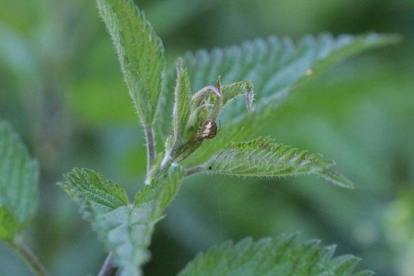Spinne indet. Foto: E. Maier-Drös