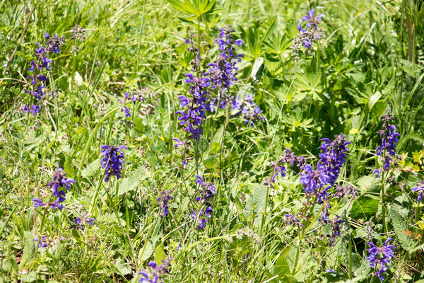 Wiesensalbei (Salvia pratensis) /Foto: B. Budig