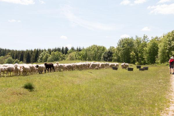 Schafe als  Weidetiere Foto: B. Budig