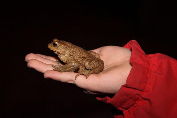 Erdkrötenmännchen auf der Hand (Foto: B. Budig)