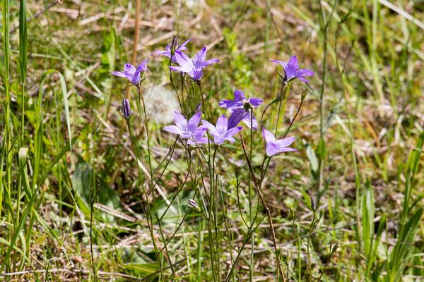 Wiesenglockenblume (Campanula patula) /Foto: B. Budig