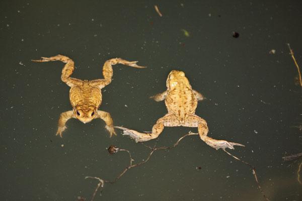 Zwei Erdkröten im Forstwaldteich (Foto: B. Budig)