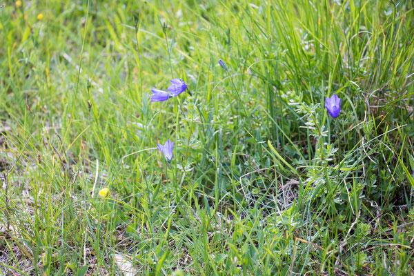 Rundblättrige Glockenblume (Campanula rotundifolia) Foto: B. Budig