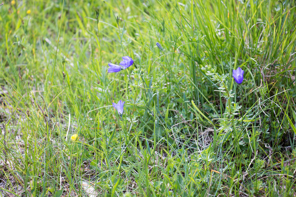 Rundblättrige Glockenblume (Campanula rotundifolia) /Foto: B. Budig