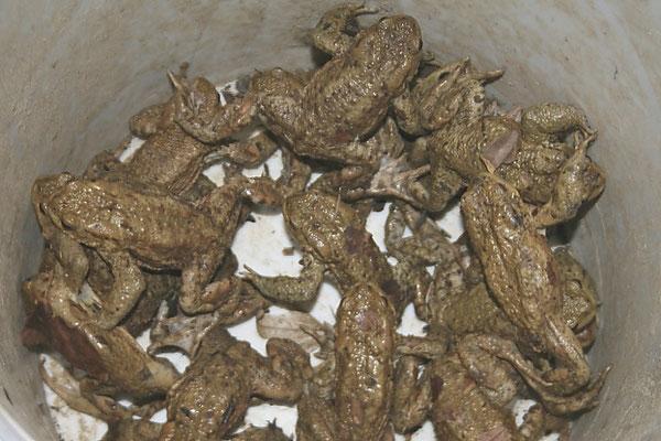 Von der Straße gesammelte Erdkröten im Eimer. (Foto: R. Drös)