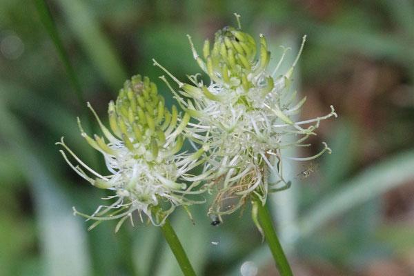 Ährige Teufelskralle (Phyteuma spicatum) /Foto: E. Maier-Drös