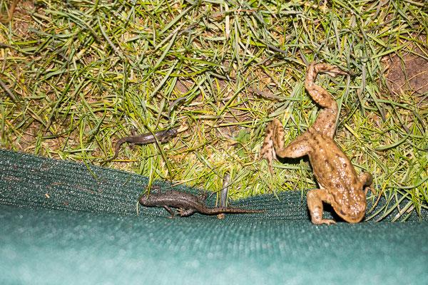 Größenvergleich: Teich-, Bergmolch und Erdkröte (Foto: B. Budig)