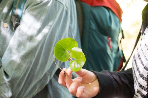 Gewöhnliche Haselwurz (Asarum europaeum) Foto: B. Budig