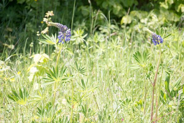 Vielblättrige Lupine (Lupinus polyphyllus) /Foto: B. Budig