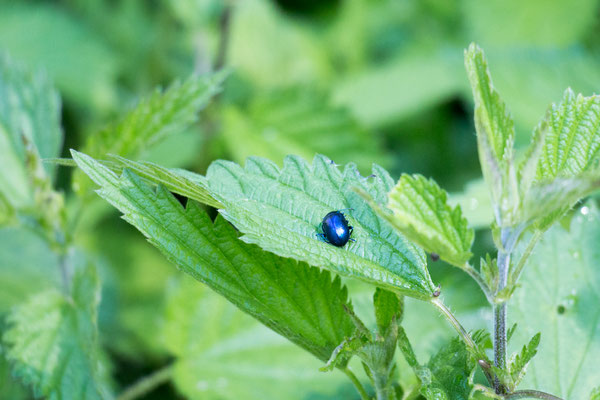 Blattkäfer indet. (Chrysomelidae) /Foto: B. Budig