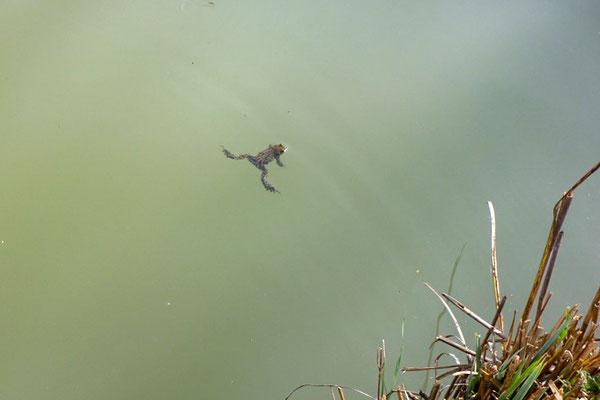 Schwimmende Erdkröte (Foto: Braun)