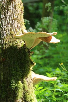 cf. Schwefelporling (Laetiporus sulphureus) Foto: E. Maier-Drös