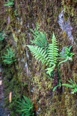 Wurmfarn (Dryopteris) und Braunstieliger Streifenfarn (Asplenium trichomanes) (Foto: H. Budig)