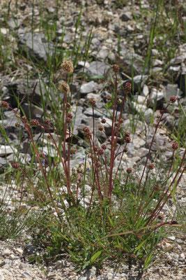 Kleiner Wiesenknopf (Sanguisorba minor) Foto: E. Maier-Drös