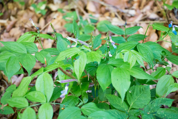 Frühlingsplatterbse (Lathyrus vernus) /Foto: B. Budig
