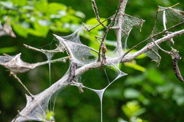 Gespinnst der Pfaffenhütchen-Gespinstmotte (Yponomeuta cagnagella) (Foto: H. Budig)
