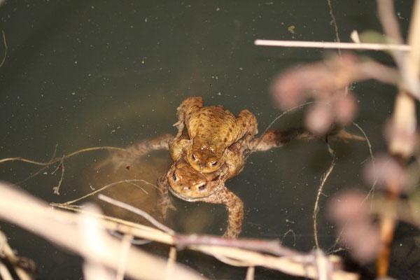 Erdkrötenpäarchen im Forstwaldteich (Foto: B. Budig)