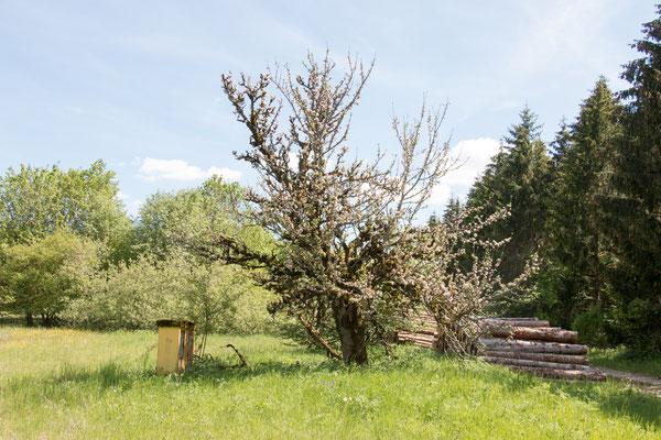 Knorriger Apfelbaum /Foto: B. Budig