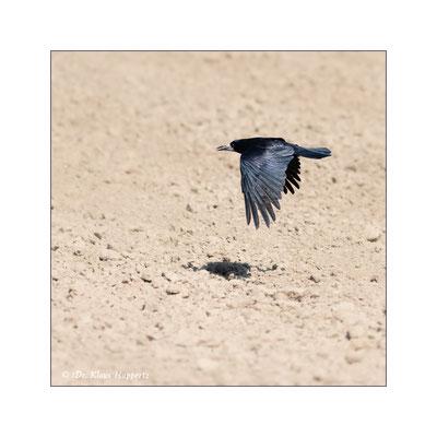 Saatkrähe [Corvus frugilegus]  /  wildlife