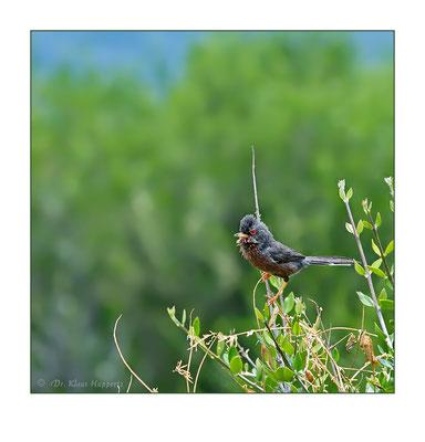 Provencegrasmücke [Sylvia undata] / wildlife