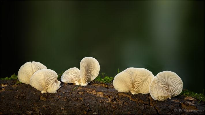 Striegeliges Stummelfüßchen [Crepidotus versutus]