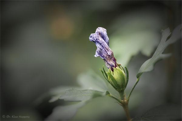 Hibiskus [Hibiscus spec.]