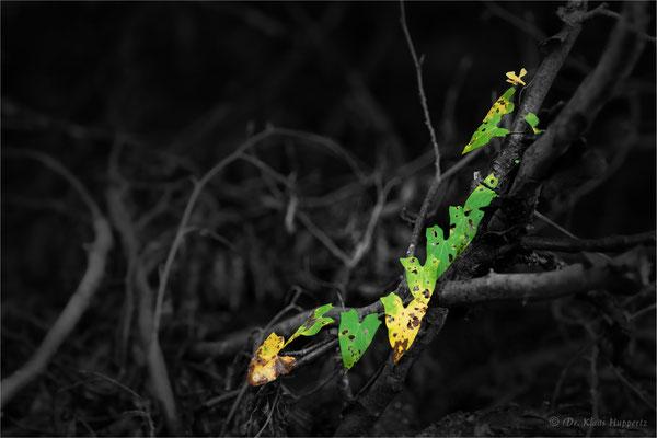 Acker-Winde [Convolvulus arvensis]