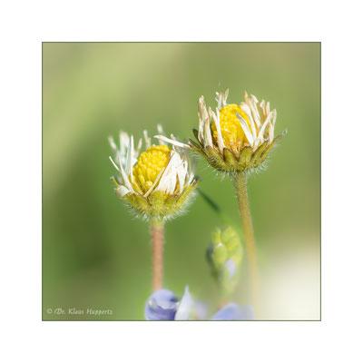 Gänseblümchen [Bellis perennis]