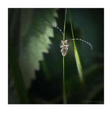 Distelbock [Agapanthia cardui]