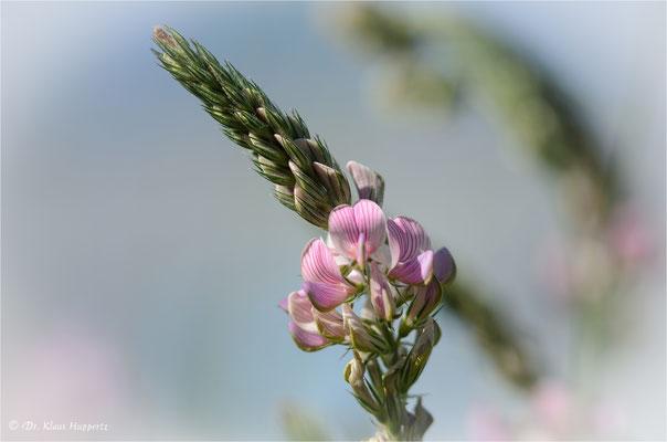 Saat-Esparsette [Onobrychis viciifolia]