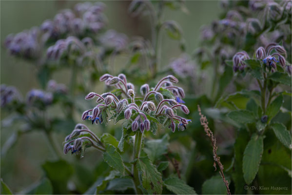 Borretsch [Borago officinalis]