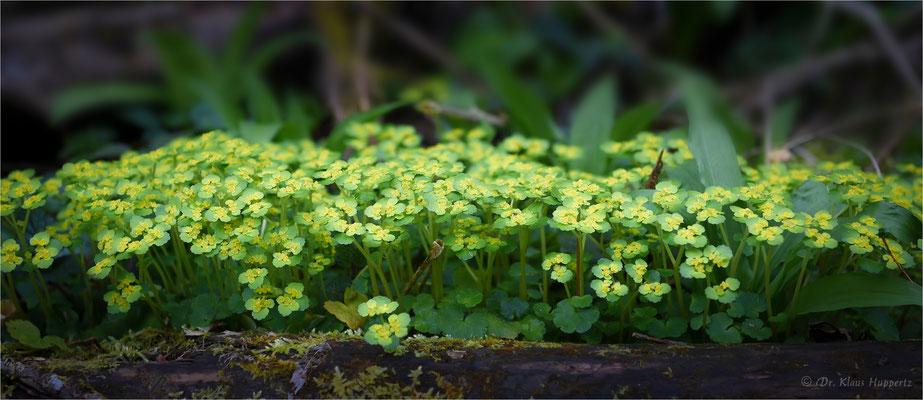 Wechselblättriges Milzkraut [Chrysosplenium alternifolium]