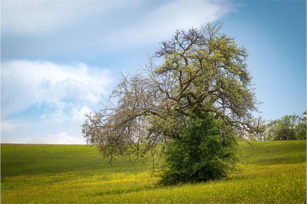 Baum bei Wüstenrot / Baden-Württemberg