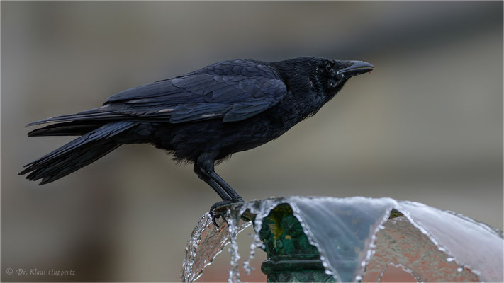 Aaskrähe, Rabenkrähe [Corvus corone] / wildlife