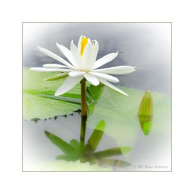 Weiße Seerose [Nymphaea alba]