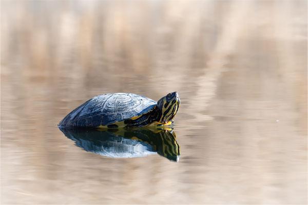 Nordamerikanische Buchstaben-Schmuckschildkröte [Trachemys scripta]  /  wildlife