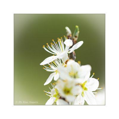 Schlehdorn [Prunus spinosa]