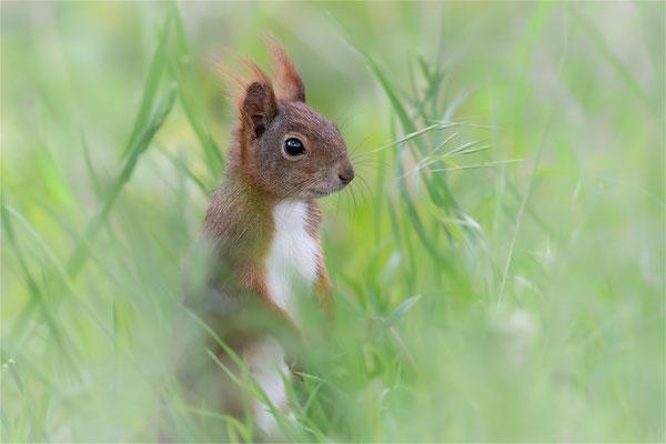 Eurasisches Eichhörnchen [Sciurus vulgaris]
