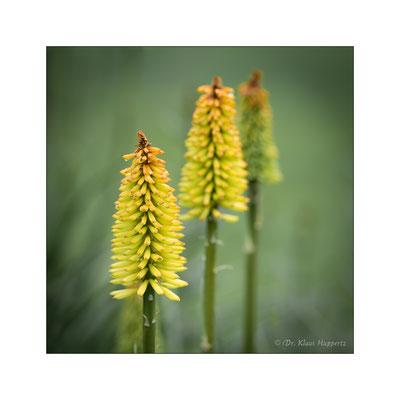 Fackellilie [Kniphofia spec.]