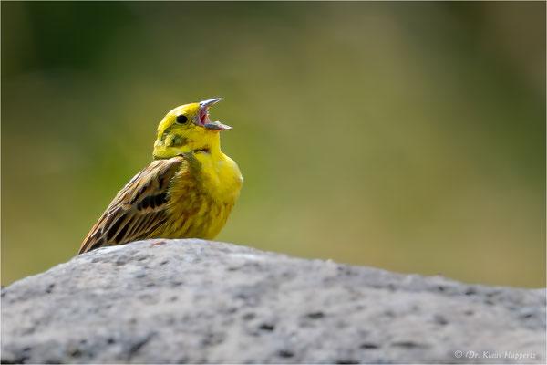 Goldammer [Emberiza citrinella]  /  wildlife