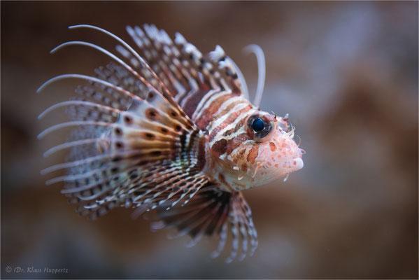 Indischer Rotfeuerfisch [Pterois miles]