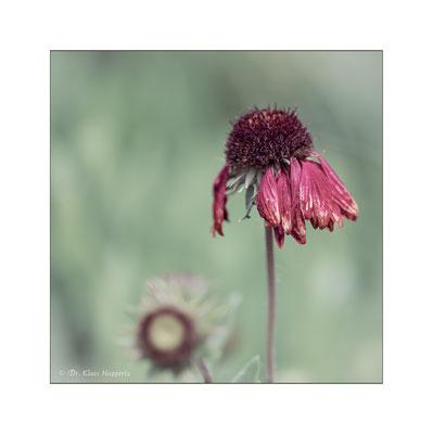 "Lanzettblättriges Mädchenauge ""Sterntaler"" [Coreopsis lanceolata]"