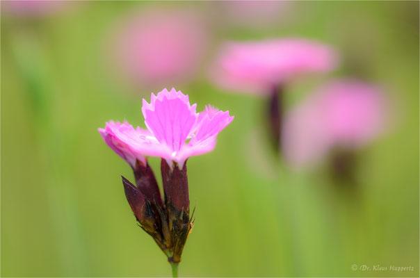 Kart(h)äusernelke [Dianthus carthusianorum]