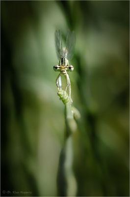 Blaue Federlibelle [Platycnemis pennipes]